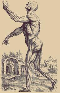 The Second Plate of the Muscles by Andreas Vesalius