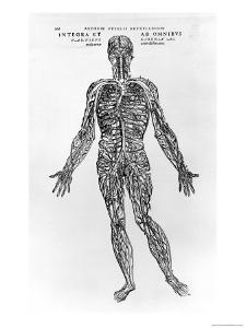 Veins and Arteries System by Andreas Vesalius