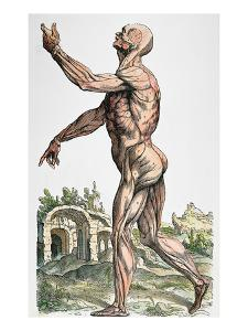 Vesalius: Muscles 02, 1543 by Andreas Vesalius
