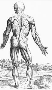 Woodcut Illustration of the Superficial Muscles in Posterior View by Andreas Vesalius