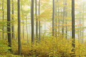 Autumnal Beech Forest in the Morning Fog, Near Sangerhausen, Saxony-Anhalt, Germany by Andreas Vitting