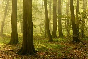 Germany, Saxony-Anhalt, Sunrays in the Morning Fog in the Deciduous Forest by Andreas Vitting