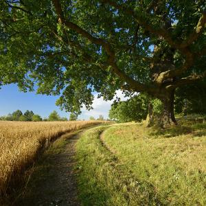 Massive Old Oak in the Field Edge, WŸnschendorf, Thuringia, Germany by Andreas Vitting