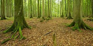 Near-Natural Beech Forest, Stubnitz, Island RŸgen by Andreas Vitting