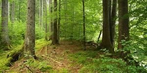Nearly Natural Spruce Forest, Ammergau Alps, Saulgrub, Bavaria, Germany by Andreas Vitting