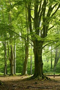 Old Gigantic Beeches in a Former Wood Pasture (Pastoral Forest), Sababurg, Hesse by Andreas Vitting