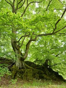 Old Grown Together Beeches on Moss Covered Rock, Kellerwald-Edersee National Park, Hesse, Germany by Andreas Vitting