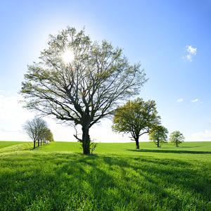 Single Oak in Grain Field in Spring, Back Light, Burgenlandkreis, Saxony-Anhalt, Germany by Andreas Vitting