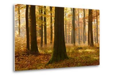 Sunny Beech Forest in Autumn, Harz, Near Allrode, Saxony-Anhalt, Germany
