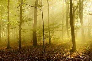 Sunrays in the Morning Fog in the Deciduous Forest, Near Freyburg, Saxony-Anhalt by Andreas Vitting