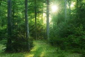 The Morning Sun Is Breaking Through Nearly Natural Beeches Mixed Forest, Spessart Nature Park by Andreas Vitting
