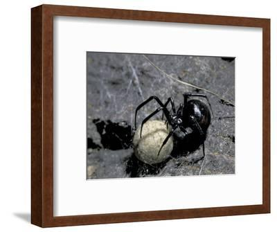 Black Widow Spider and Egg, Machu Picchu, Peru