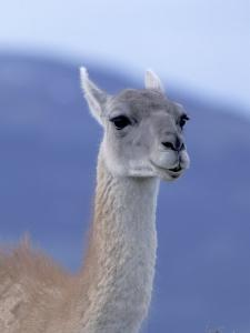 Guanaco in Torres del Paine National Park, Coquimbo, Chile by Andres Morya