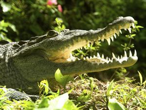 American Crocodile (Crocodylus Acutus) Costa Rica by Andres Morya Hinojosa