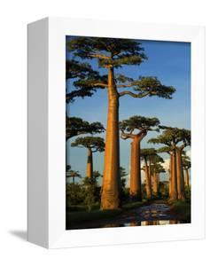 Baobab (Adansonia Grandidieri), Near Morondava, Madagascar by Andres Morya Hinojosa