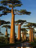 Baobab (Adansonia Grandidieri), Near Morondava, Madagascar-Andres Morya Hinojosa-Photographic Print
