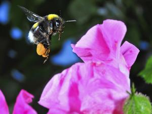 Bumble Bee in Flight, Hymenoptera, Switzerland by Andres Morya Hinojosa