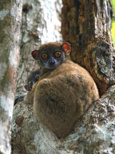 Eastern Woolly Lemur (Avahi Laniger), Madagascar by Andres Morya Hinojosa