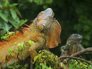Green Iguanas (Iguana Iguana), Costa Rica by Andres Morya Hinojosa