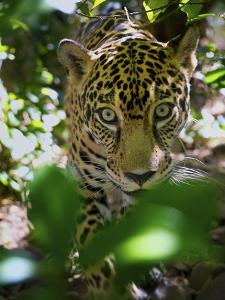 Jaguar (Panthera Onca), Central America Jaguar (Panthera Onca) Linnaeus, Costa Rica by Andres Morya Hinojosa
