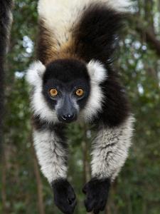 Lemur, Madagascar by Andres Morya Hinojosa