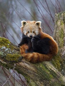 Red Panda (Ailurus Fulgens), Himalayas by Andres Morya Hinojosa