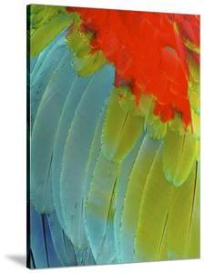 Scarlet Macaw (Ara Macao), Argentina by Andres Morya Hinojosa