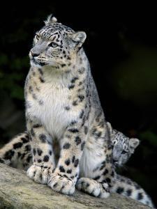 Snow Leopard, Uncia Uncia, Panthera Uncia, Nepal by Andres Morya Hinojosa