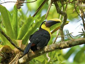 The Chestnut-Mandibled Toucan, or Swainson's Toucan (Ramphastos Swainsonii), Costa Rica by Andres Morya Hinojosa