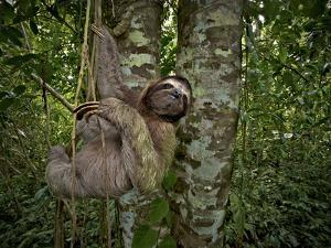 Three-Toed Sloth (Bradypus Variegatus) Perezoso De Tres Dedos, Cahuita, Caribe, Costa Rica by Andres Morya Hinojosa