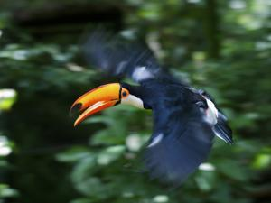 Toco Toucan (Ramphastos Toco) Flying Through the Rainforest, Brazil, Argentina by Andres Morya Hinojosa