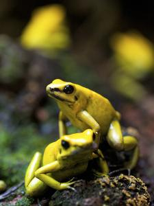 Yellow-Banded Poison Dart Frog (Dendrobates Leucomelas), South America by Andres Morya Hinojosa