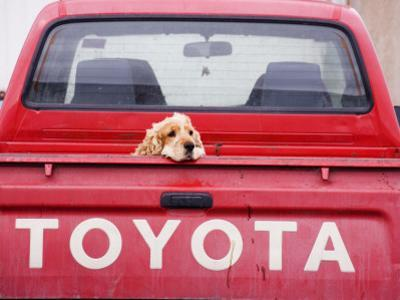 Dog Waiting on Back of Ute by Andrew Bain