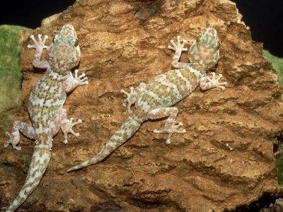 Big Headed Gecko, Male and Female