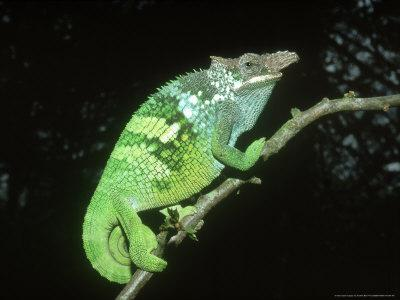 Fischers Chameleon, Male, Tanzania