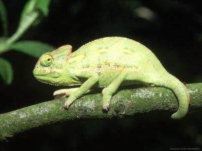 Yemens Chameleon, Young 10 Wks Old, Yemen