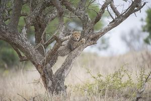 A Cheetah Cub, Acinonyx Jubatus, Climbing A Tree by Andrew Coleman