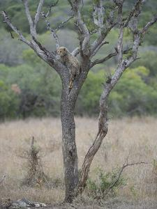 A Cheetah Cub, Acinonyx Jubatus, Perched High In A Tree With Its Sibling On The Ground Nearby by Andrew Coleman