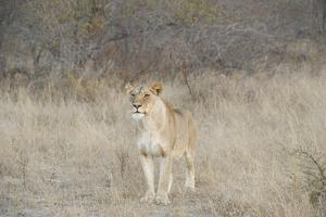 A Female Lion, Panthera Leo, Standing In The Dry Grass by Andrew Coleman