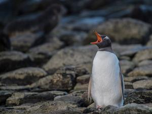 A Gentoo penguin vocalizes on a rocky beach. by Andrew Coleman