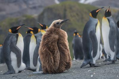 A juvenile king penguin stands next to a group of adult penguins.