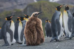 A juvenile king penguin stands next to a group of adult penguins. by Andrew Coleman