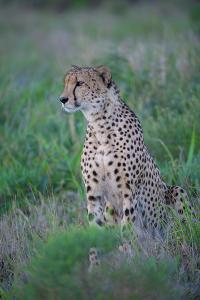 A profile of a cheetah. by Andrew Coleman