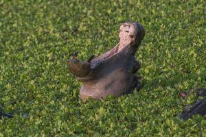 A Yawning Hippopotamus, Hippopotamus Amphibius, In A Green Swamp by Andrew Coleman