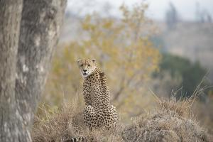A Young Male Cheetah, Acinonyx Jubatus, Sitting In Sabi Sabi Game Reserve by Andrew Coleman