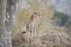 A Young Male Cheetah, Acinonyx Jubatus, Standing On A Mound by Andrew Coleman