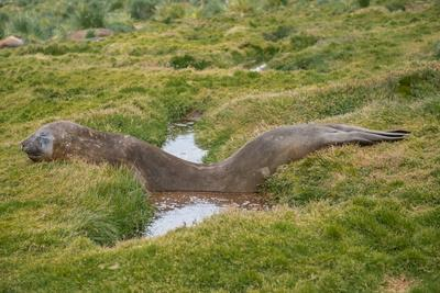 An elephant seal rests, lying across a flooded gully.