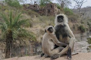 Common langurs, Semnopithecus entellus, overlooking ruins at Ranthambhore Fort. by Andrew Coleman