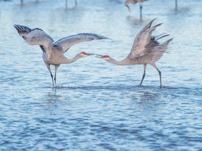Dancing sandhill cranes in a river by Andrew Coleman