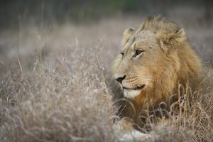 Portrait Of A Male Lion, Panthera Leo, Resting In The Tall Grass by Andrew Coleman
